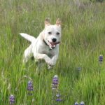Dog racing through tall grass and lupine.