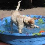 Dog playing in a kiddie pool.